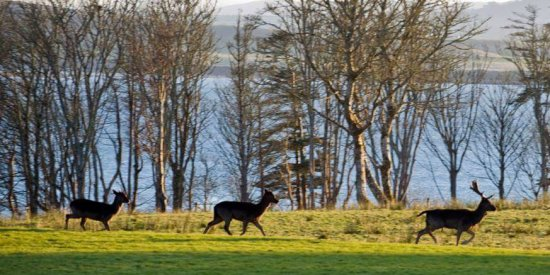 Deer at Lissadell