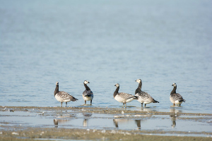 Barnacle Gooses in water